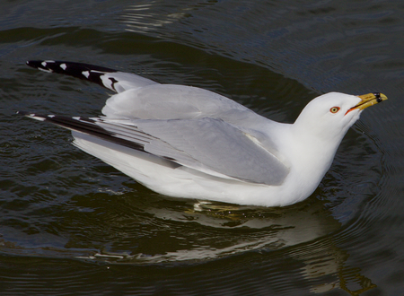 soul searching: The ringbilled gull with the crazy sight is drinking the water