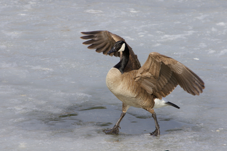 cackling: Beautiful cackling goose is walking