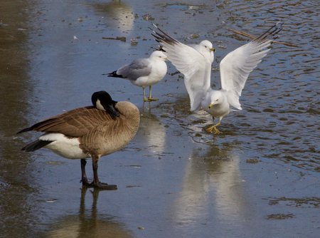 an obeisance: The funny gull shows an obeisance in front of the goose Stock Photo