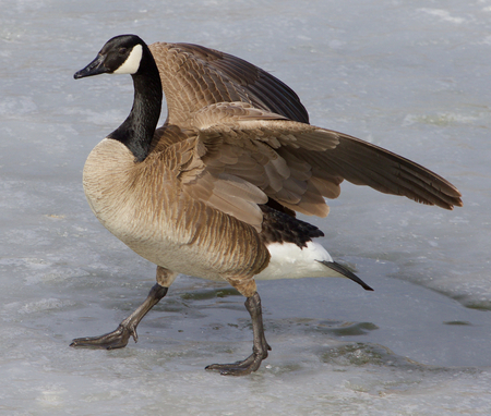 cackling: Cackling goose is going on the ice