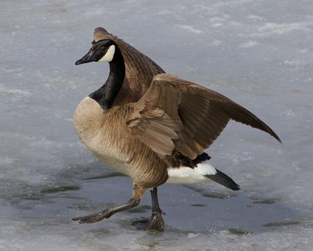 cackling: Beautiful closeup of the walking cackling goose