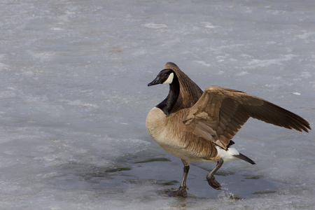 cackling: Confident cackling goose is moving somewhere