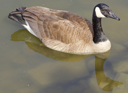 cackling: The cackling goose in the calm water Stock Photo