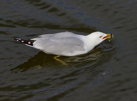 gulp: The gull is gulping the water Stock Photo