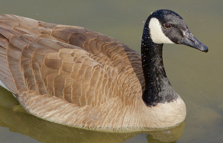 cackling: The beautiful closeup of a cackling goose