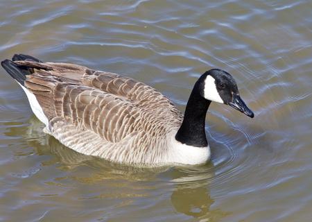 cackling: Cackling goose closeup