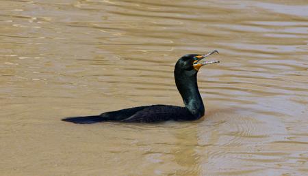 stocky: The amazement of the cormorant