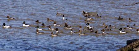 swarm: The swarm of ducks