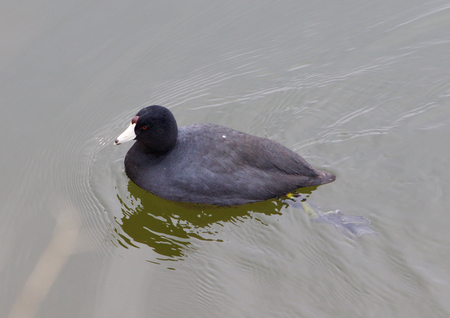 The American coot is swimming photo
