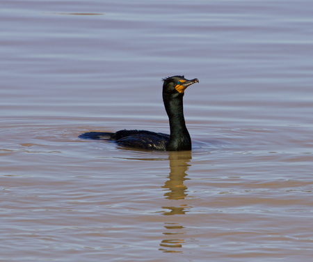 solely: Solely cormorant is swimming somewhere