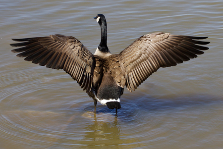 cackling: Beautiful cackling goose spreads his wings