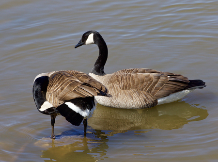 cackling: Two cackling geese in the water