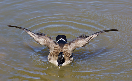 cackling: The powerful wings of a cackling goose