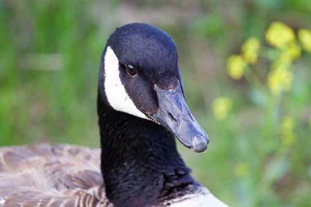 cackling: Serious cackling goose