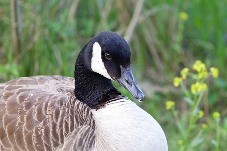 cackling: Shy cackling goose is sitting in the grass