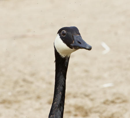 cackling: Funny head of a cackling goose