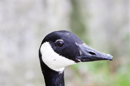 cackling: The funny smile of a cackling goose