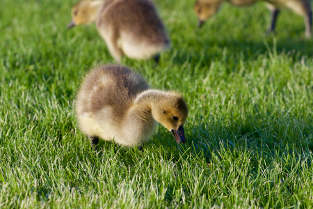 cackling: The young cackling geese on the grass