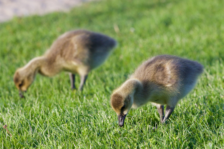 cackling: Two young cackling geese are eating the grass