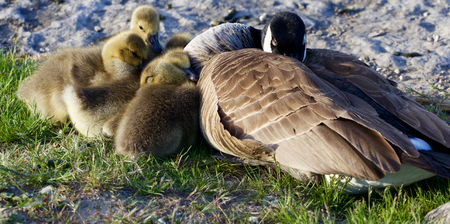 cackling: The family of a cackling geese