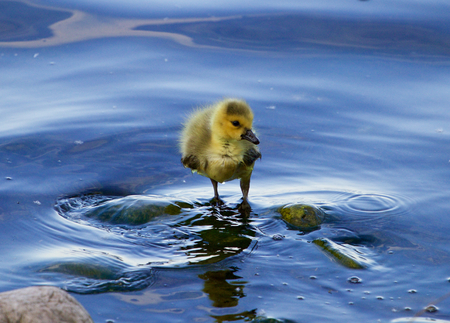 solely: The solely chick of the goose in the water