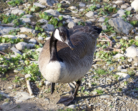 cackling: Cackling goose is staying on the shore