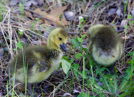 cackling: Cute young cackling geese