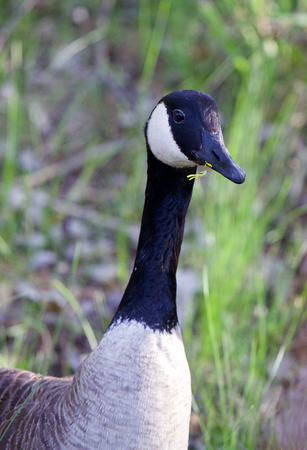 stay in the green: Romantic cackling goose with the flower in his bick
