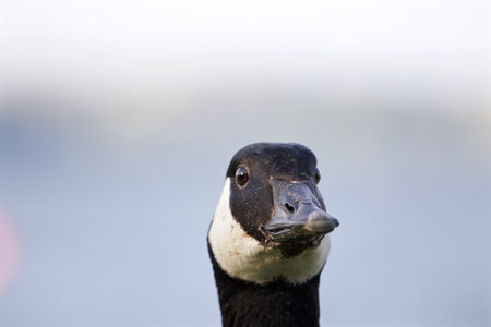cackling: Funny head of a serious cackling goose