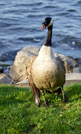 cackling: The defence of a cackling goose