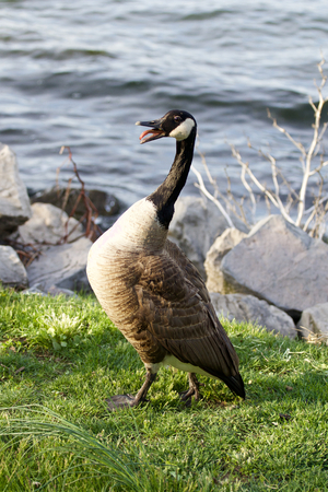 cackling: Fear of a cackling goose