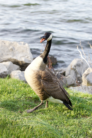 cackling: Strong fear of a cackling goose