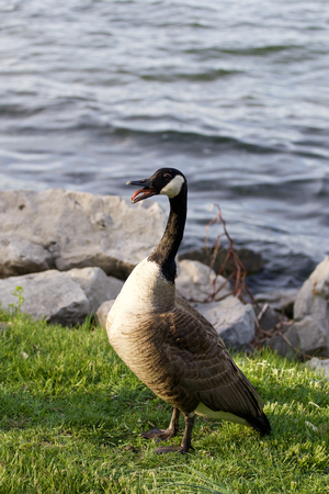 cackling: Scary amazement of a cackling goose