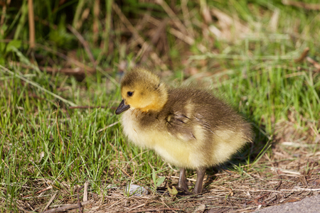 cackling: The cute chick of the cackling geese