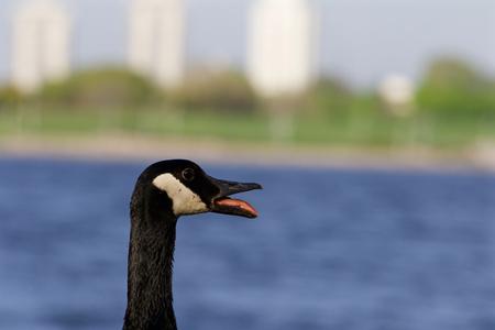 cackling: The scream of a cackling goose