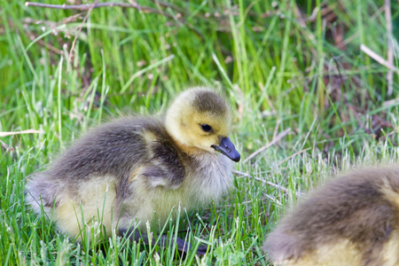 cackling: The chick of a cackling goose