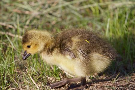 cackling: Cute cackling goose