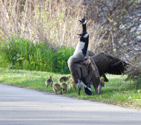 cackling: Cackling geese are covering their chicks