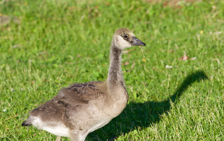 cackling: Young cackling goose is eating the grass on the sunny evening Stock Photo