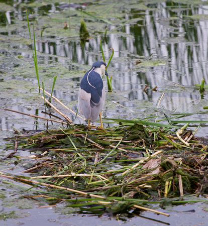 stocky: Funny black-crowned night heron is searching for the food in the lake