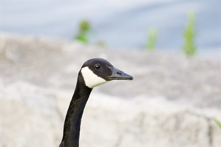 cackling: The portrait of the serious cackling goose Stock Photo