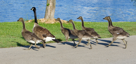 cackling: The cackling geese are running Stock Photo