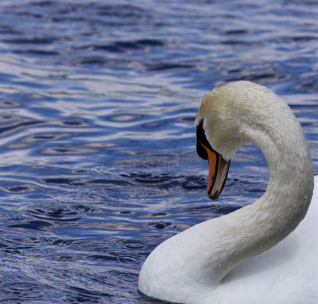 beautiful neck: Beautiful neck of the strong male mute swan