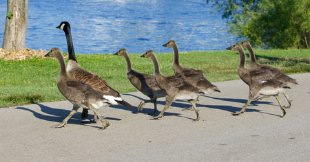 cackling: The young cackling geese are running across the road Stock Photo