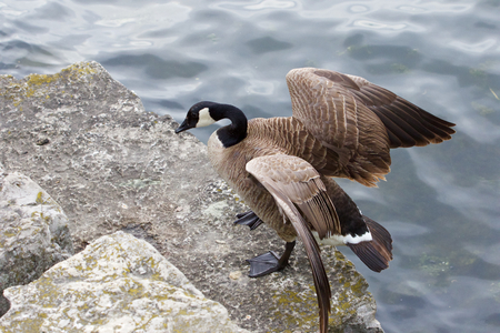 cackling: Beautiful cackling goose has jumped on the rock from the water of the lake