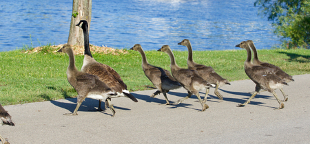 cackling: The young cackling geese are running fast to the water