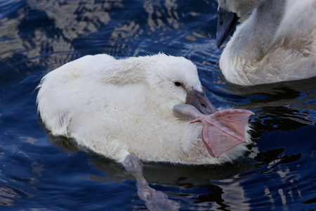 funy: The funy cute chick swan is stretching out her leg while cleaning the feathers in the lake