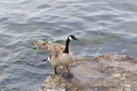 cackling: Beautiful cackling goose is going on the rock near the water
