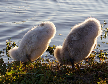 synchronously: Two funny chicks of the mute swans are synchronously cleaning their feathers