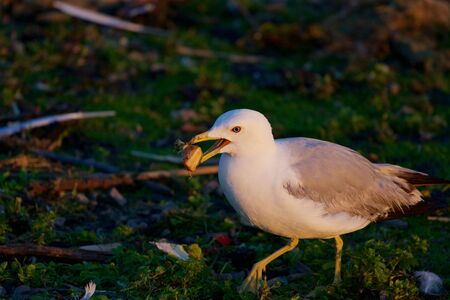 mew: The mew gull is going somewhere with the food Stock Photo